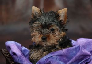 The Yorkshire Terrier Interesting Facts About This Tiny Breed
