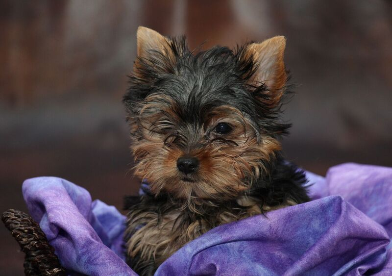 Yorkie Puppies For Sale Interesting Facts About The Yorkshire Terrier
