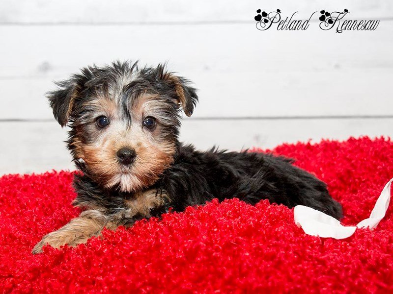 Silky Terrier-Female-BLK & TN-1728291-Petland Kennesaw