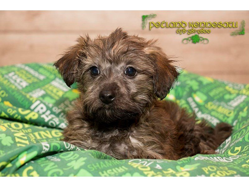 Adopted Male Yorkie-Poo 71584