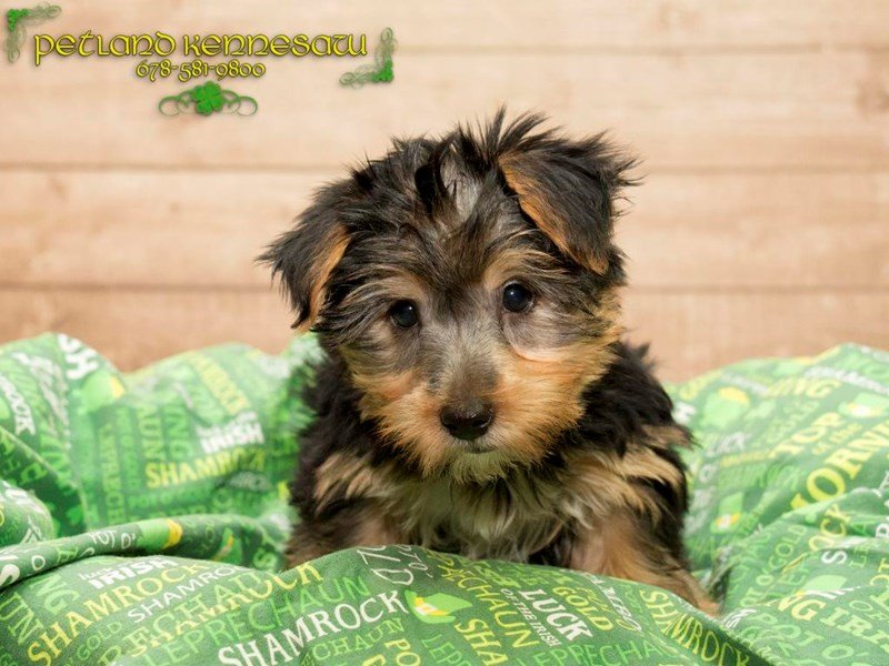 Silky Terrier-Female-Black / Tan-1739265-Petland Kennesaw