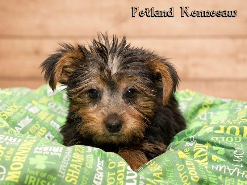 Yorkshire Terrier-DOG-Male-Black and Gold-1747802-Petland Kennesaw