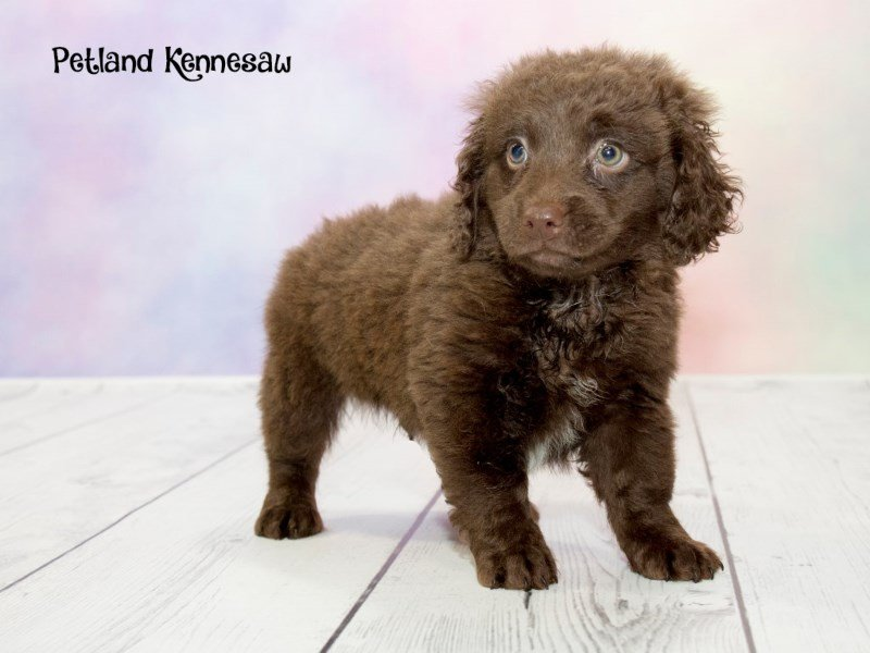 mini labradoodle-dog-male-chocolate-1761901-petland kennesaw