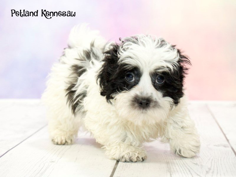 Shih poo-Male-Black / White-1763377-Petland Kennesaw