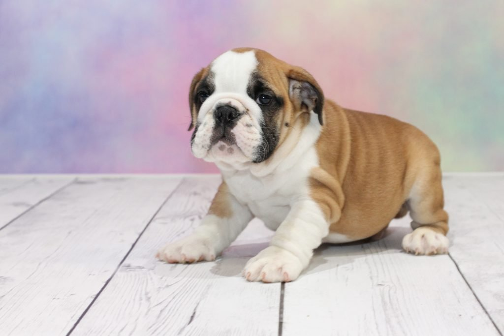 English Bulldog Puppies For Sale Get One Of These Loyal Pups