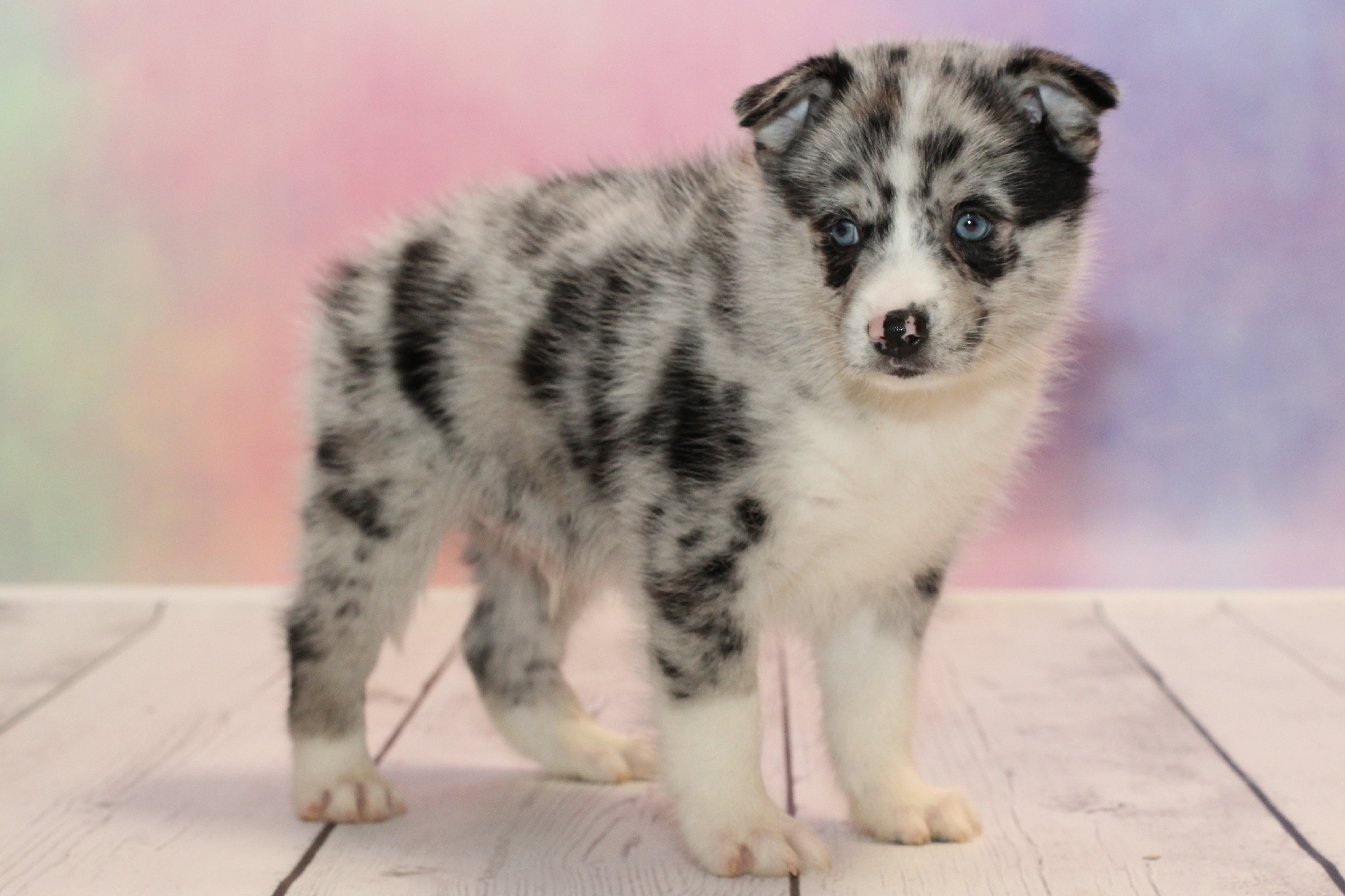 Pomsky for Sale, Could This Cross be Just What Your Family
