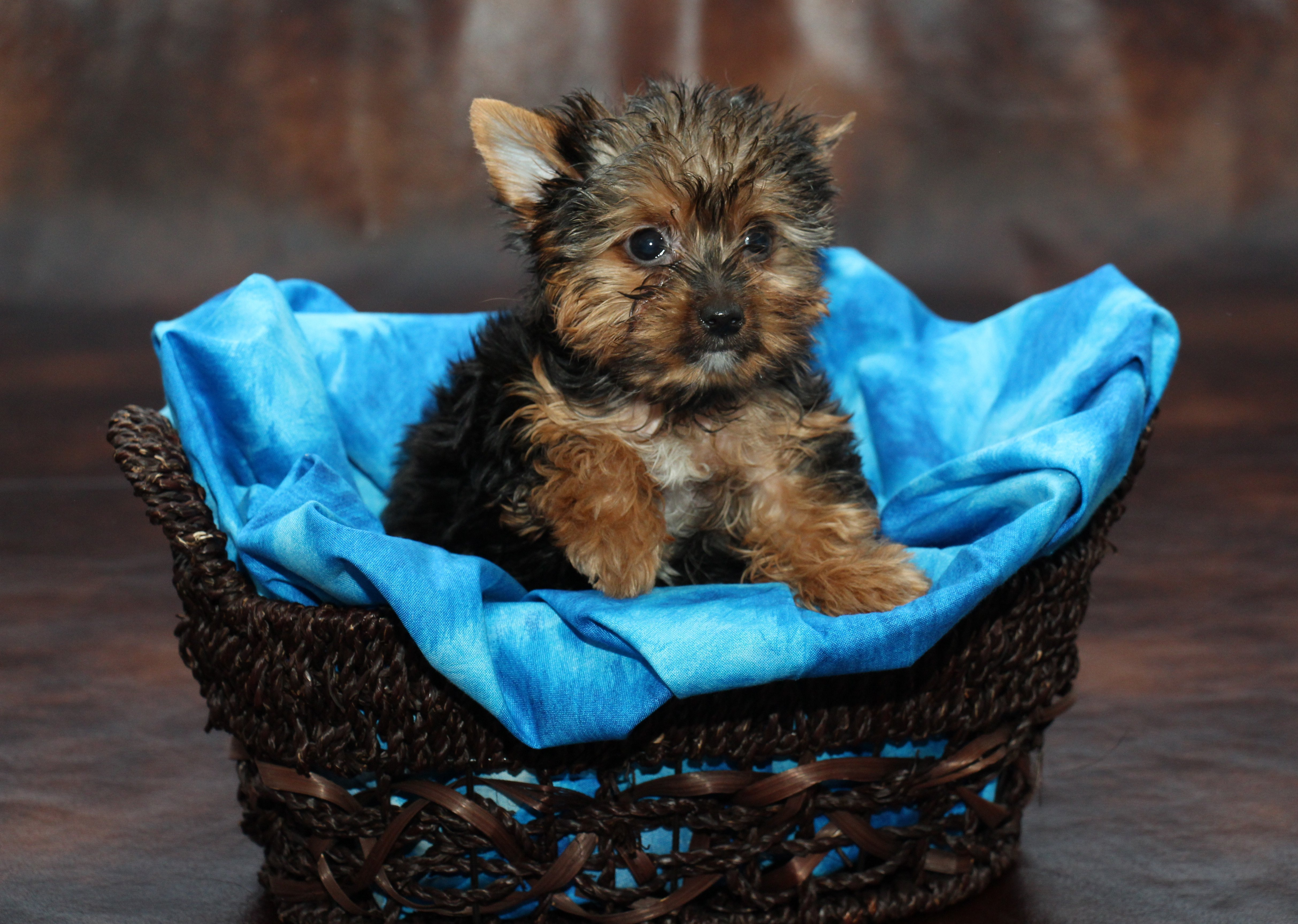 Adult yorkie for sale
