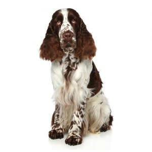 English Springer Spaniel Puppies Breed Info - Petland Kennesaw