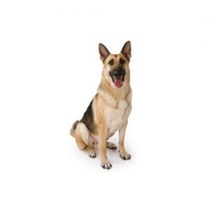 german-shepherd
