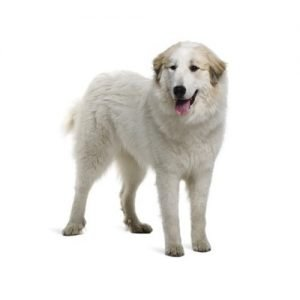 great-pyrenese