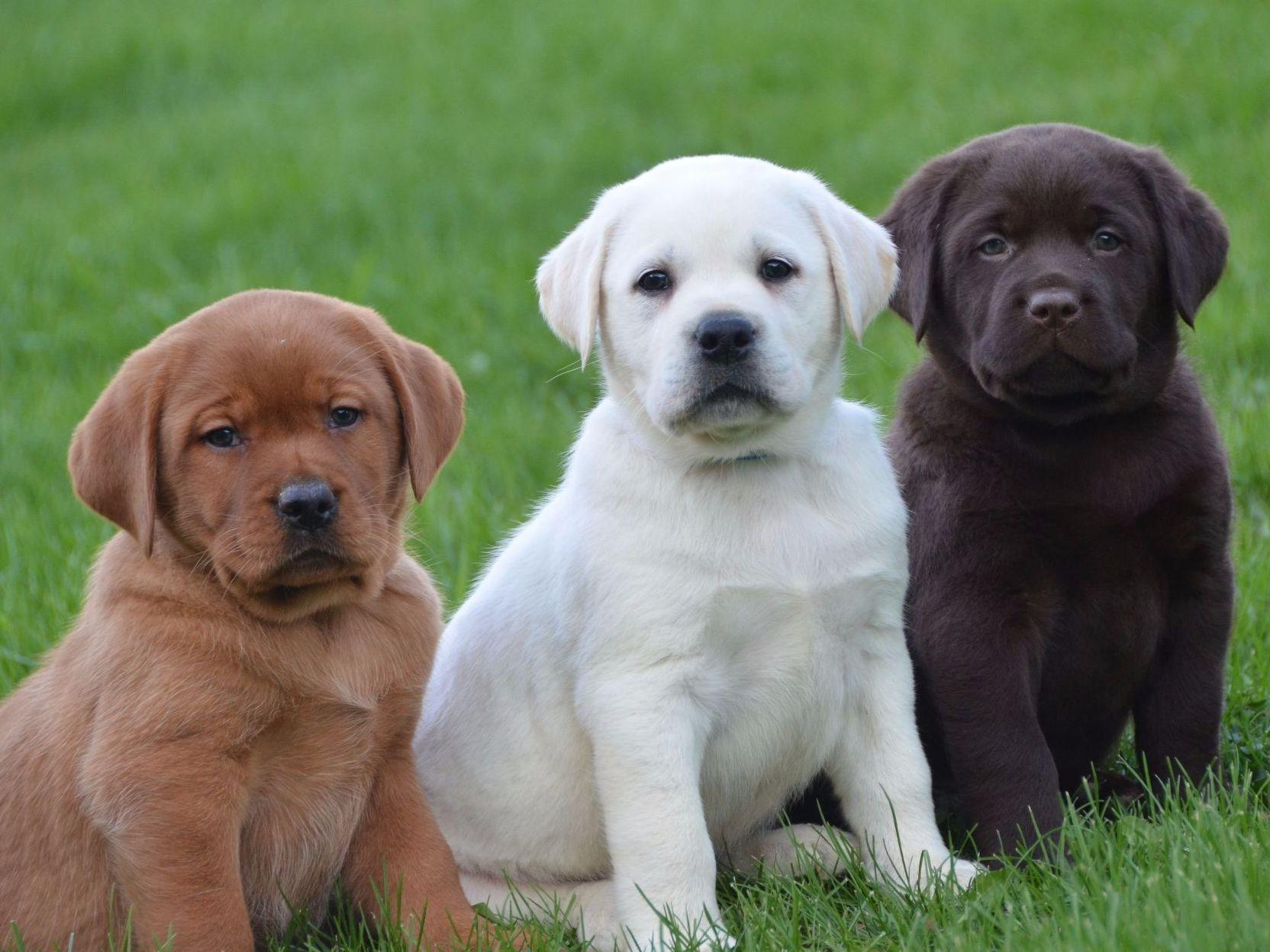 Lab Puppies for Sale This Dog Takes America s Top Spot
