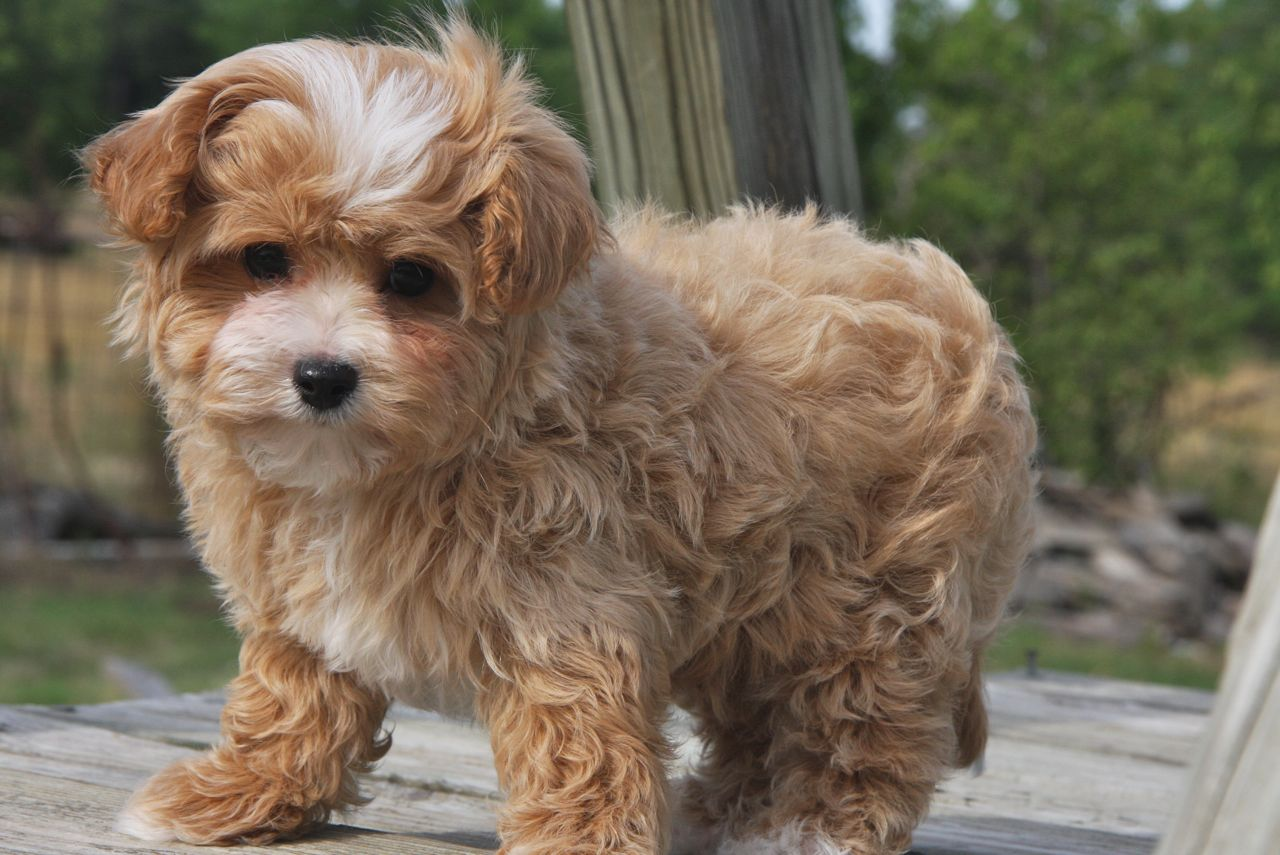 Maltipoo Puppies For Sale Affectionate And Loving