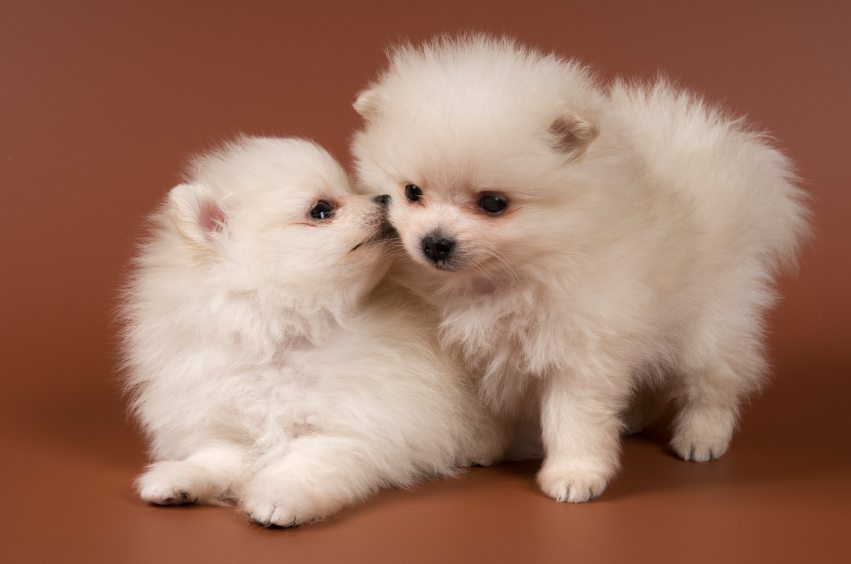 Pomeranian Puppies For Sale Make This Saucy Puppy The Light Of Your
