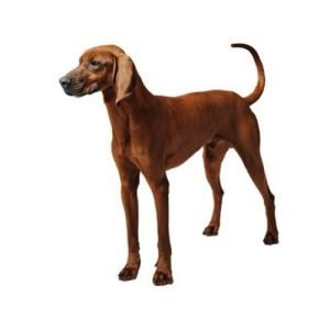 redbone-coonhound