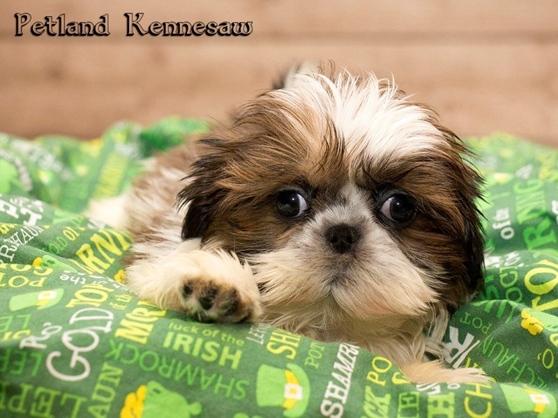 puppy shih tzu for sale shih tzu puppies for sale this breed is absolutely 8790