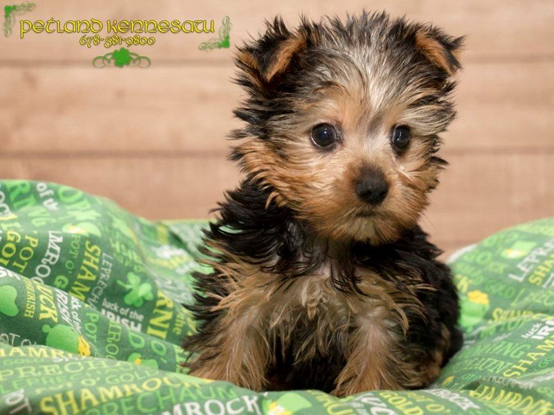 Yorkie Puppies For Sale For When You Need Some Cuddles Petland