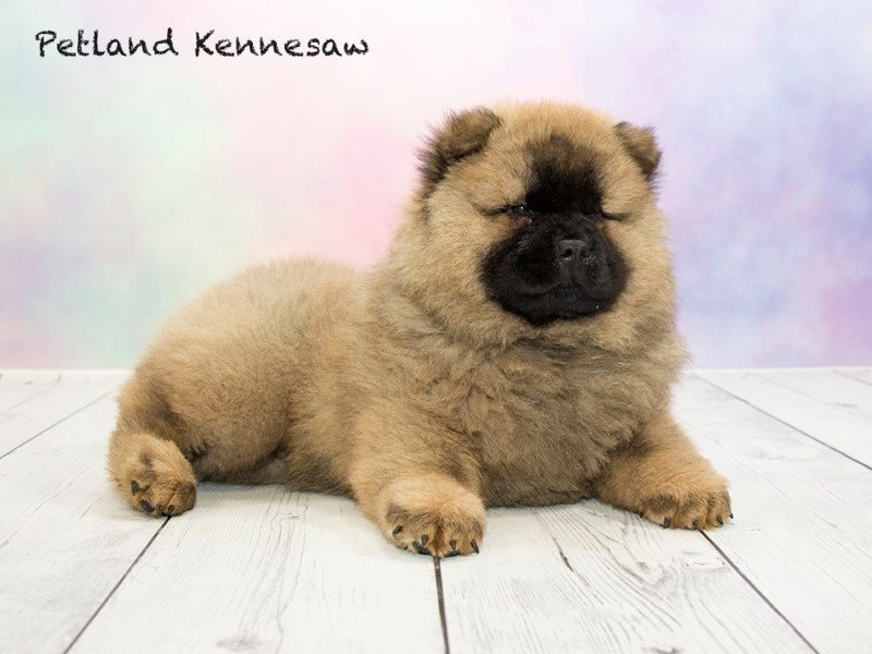 Chow Chow-Male-CMN-1766570-Petland Kennesaw