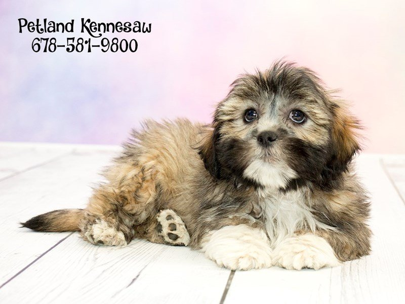 Lhasa Apso-Male-Grizzle-1773652-Petland Kennesaw
