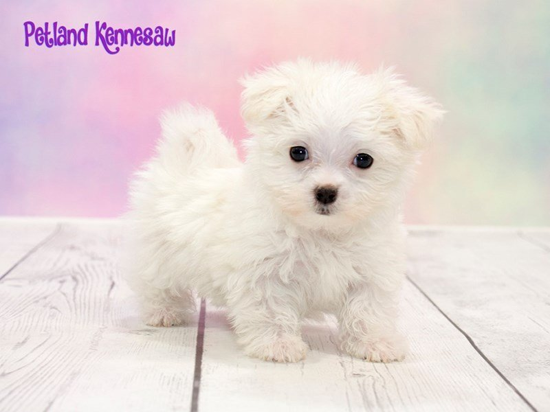 Maltese-DOG-Female-WH-1777913-Petland Kennesaw