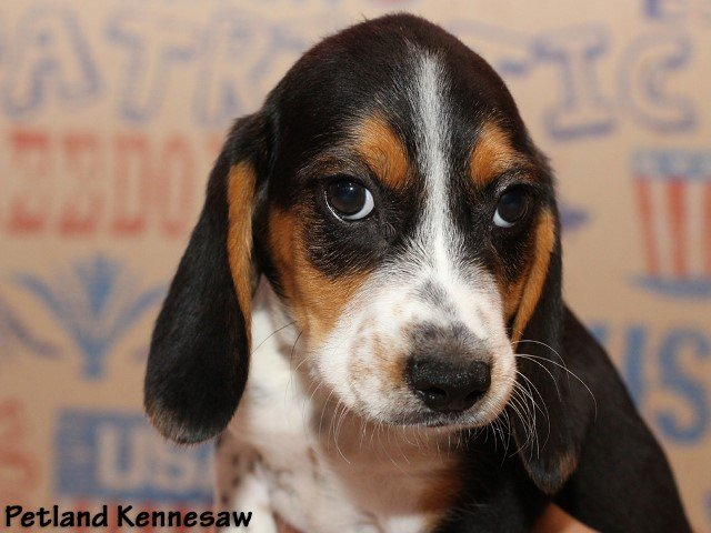 Beagle Puppies For Sale This Hound Dog Will Steal Your Heart