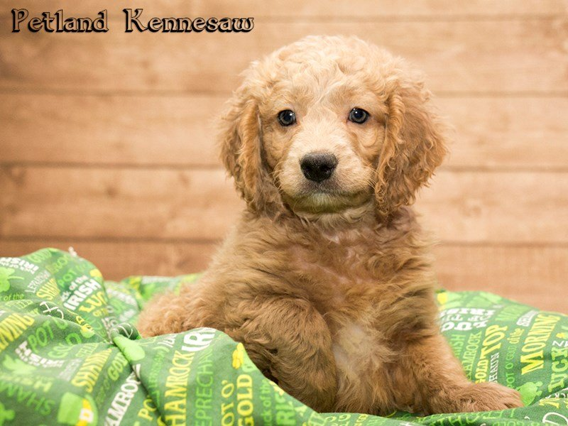Miniature Goldendoodle Puppies For Sale Your New Best