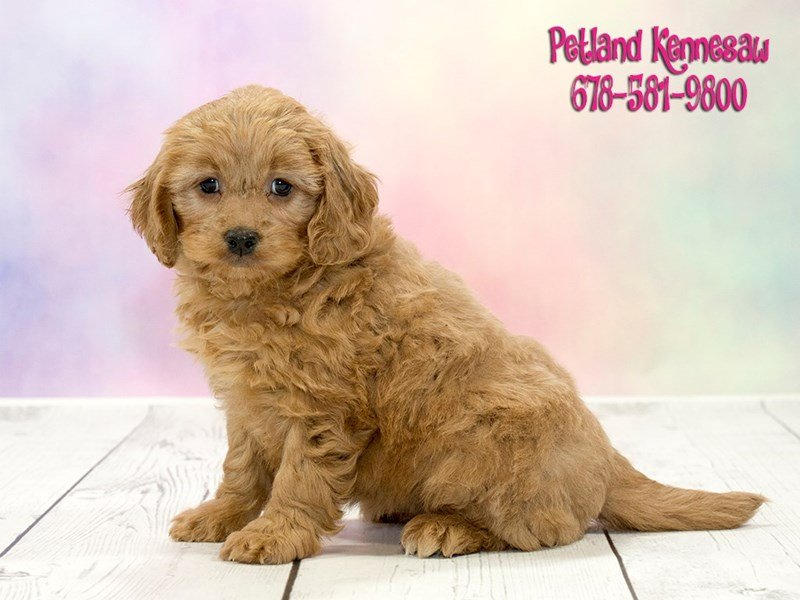 Adopted Female Goldendoodle Mini 2nd Gen 72552