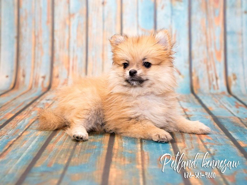 Adopted Female Pomeranian 72736