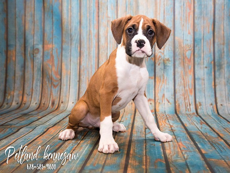Boxer-DOG-Male-Fawn-1799388-Petland Kennesaw