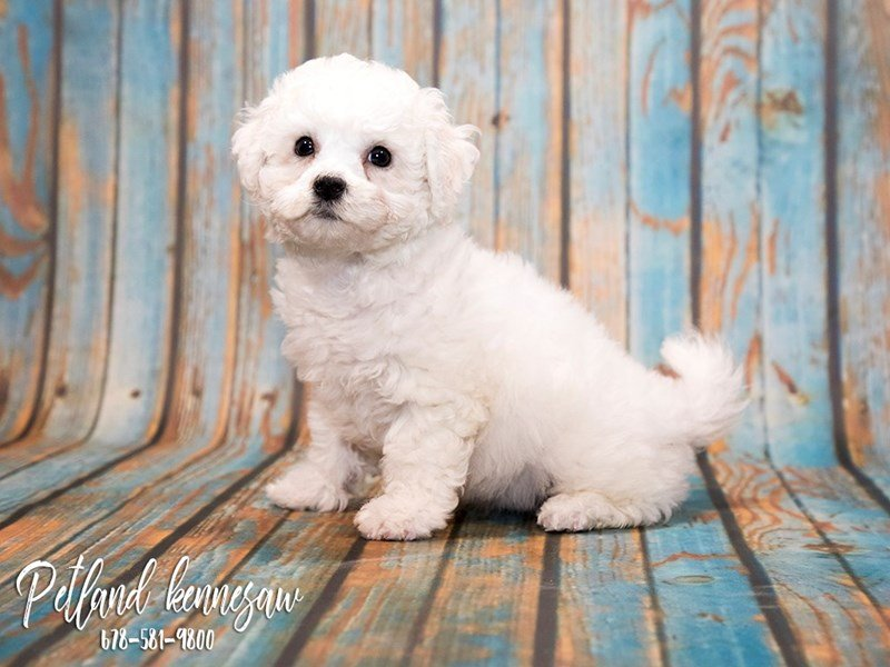 Bichon Frise Puppies for Sale: the Ultimate Powder-Puff Dog!