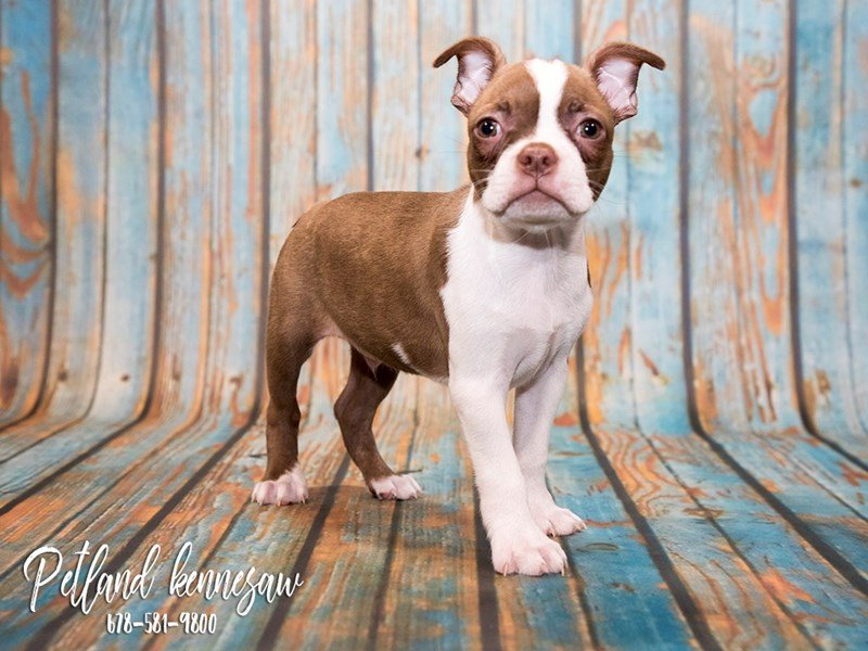 Boston Terrier For Sale These Dapper Dudes Love A Good Time