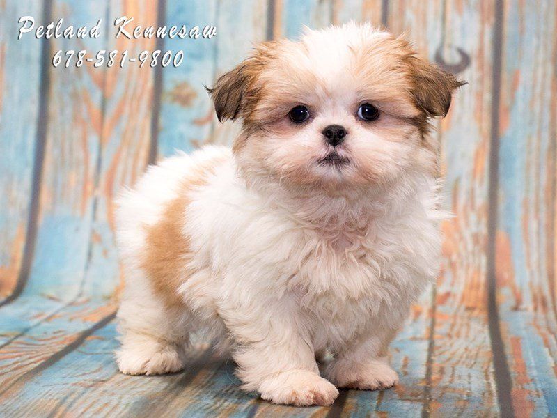 buying shih tzu puppy buy puppies at petland kennesaw a guide to taking home 3765