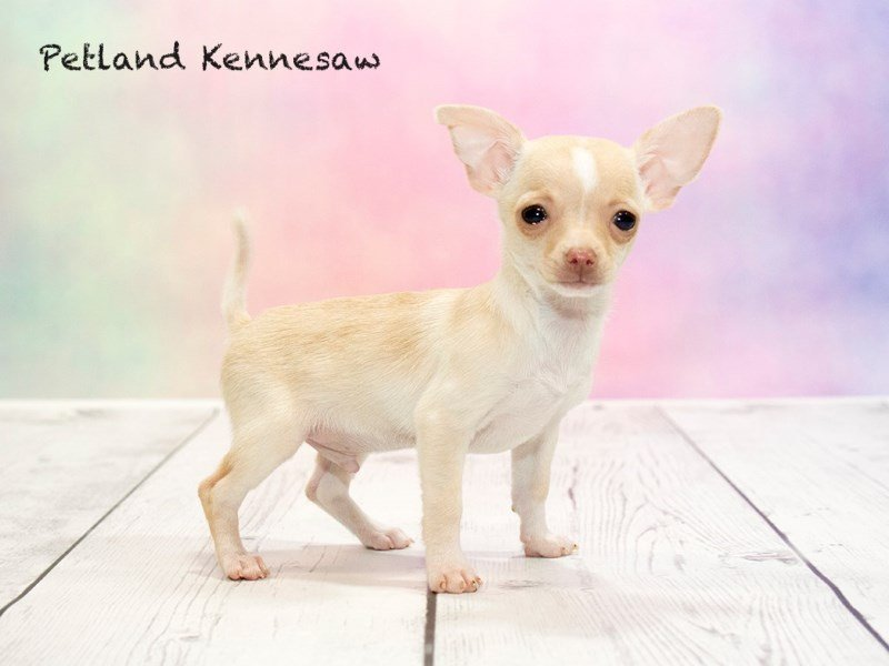 Chihuahuas for Sale: Our Saucy Puppies Want to Go Home with You!