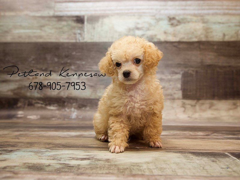 Poodle Puppies For Sale A Few Things You Might Not Know About This