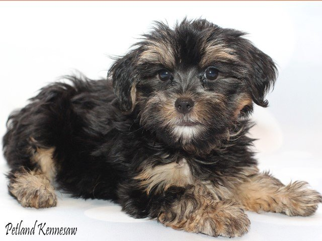Yorkie Poo Puppies Is The Yorkie Poo The Right Dog Breed For You