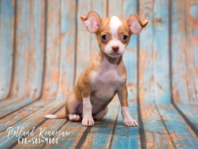 Our Chihuahuas For Sale Are Looking For A Wonderful New Home
