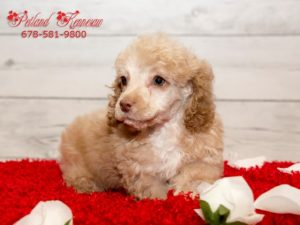 miniature Poodles for sale