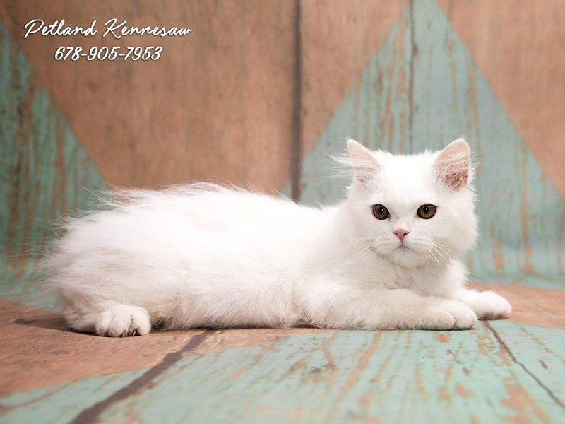 Persian-Male-wh-1830288-Petland Kennesaw