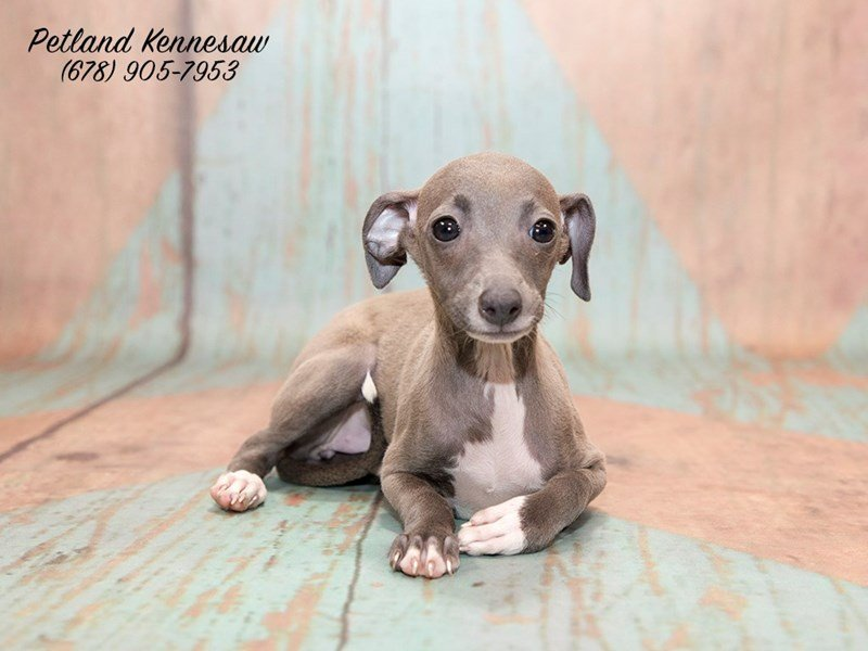 Italian Greyhound - Petland Kennesaw
