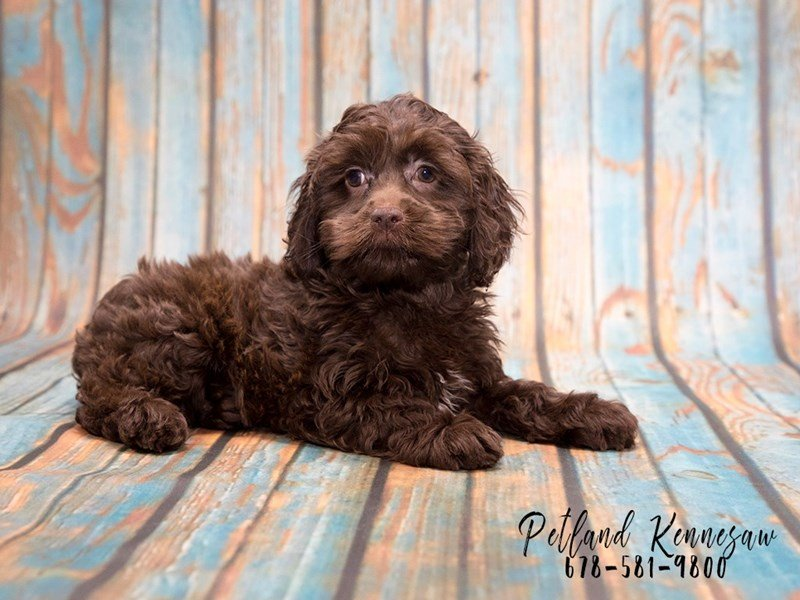 a cockapoo puppy for sale is as loving as it is fluffy and that s a