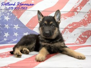 german shepherds for sale