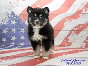 pomskies for sale