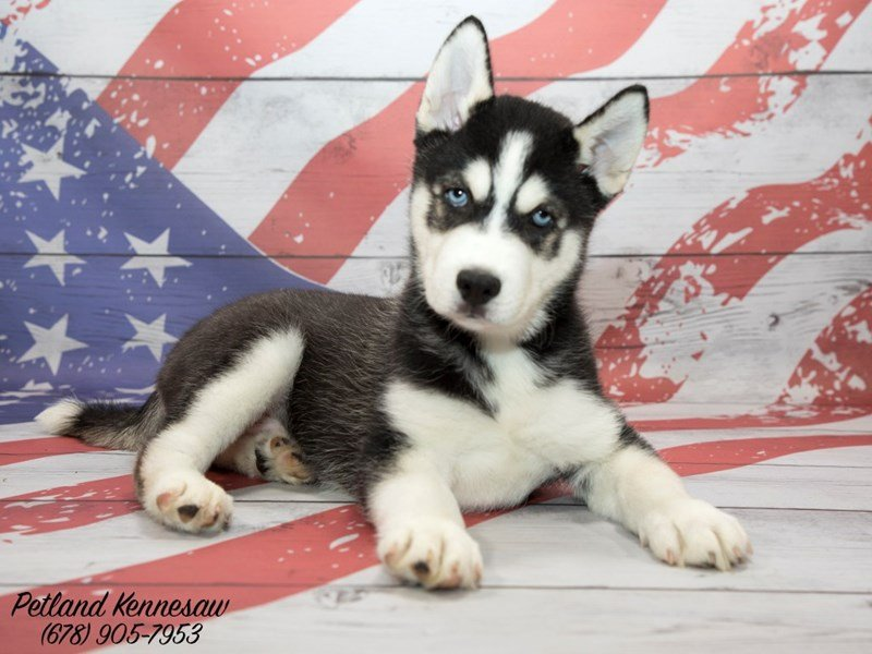 Add To Your Pack With One Of Our Siberian Husky Puppies For Sale