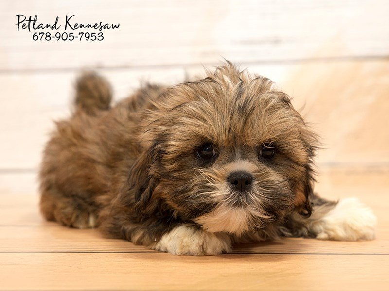 Lhasa Apso-Female-Red-1872468-Petland Kennesaw