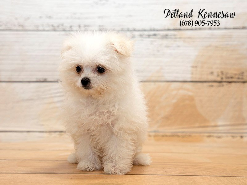 Adopted Female Maltipom 74500