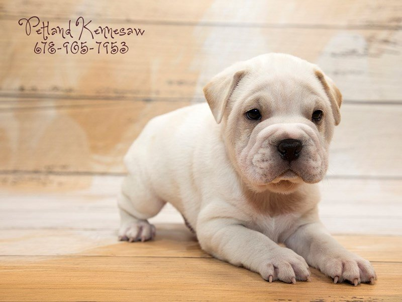 Bully-Pei-Male-Fawn White-1874173-Petland Kennesaw