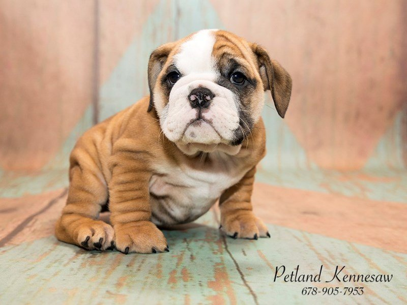 petland puppies for sale