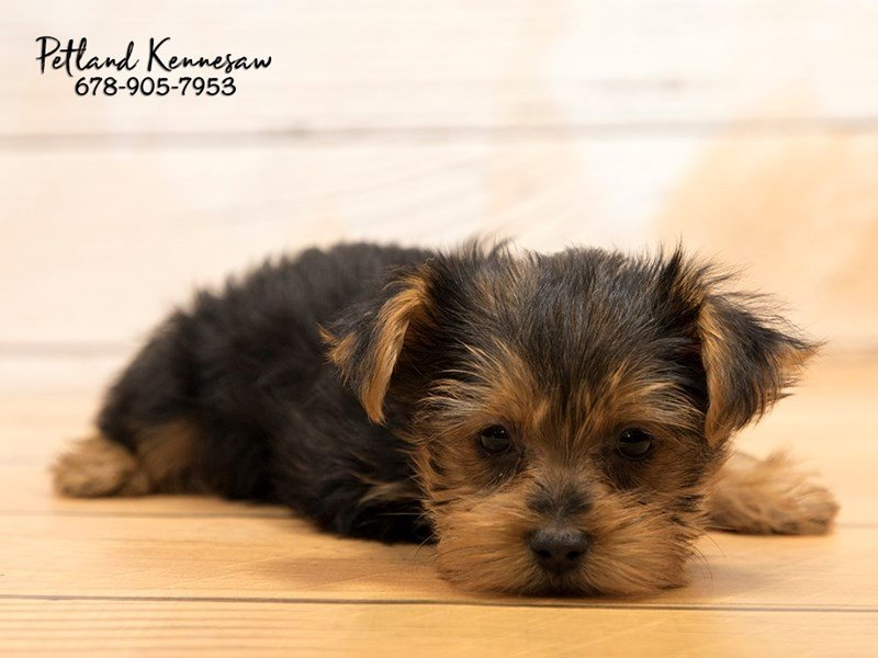 There is Nothing Better Than Finding the Perfect Yorkie Puppy for You!