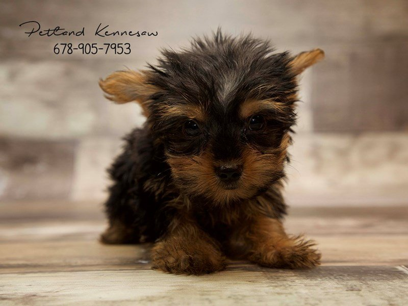 Adopted Male Yorkshire Terrier 74941