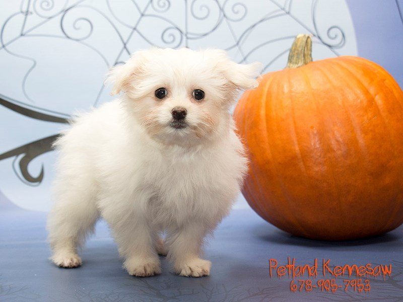 Bichon Poo-Male-Cream / White-1915558-Petland Kennesaw