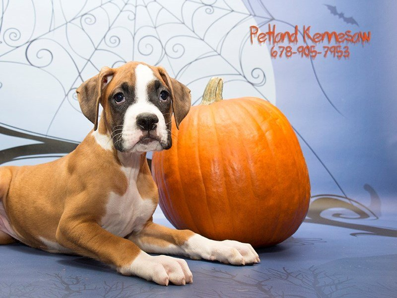 Boxer-DOG-Male-fn & wh-1894279-Petland Kennesaw